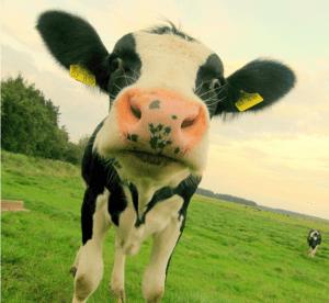 Kraftwerk Kuh von Alex Schweigert